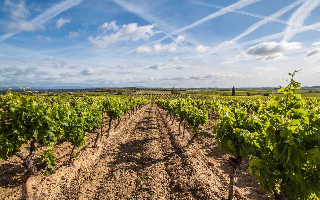 vines, wine tourism, herault vineyard, carrasses